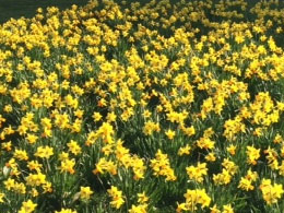 Image of a bed of daffodils